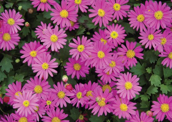 Pacific Reef (Brachyscome formosa hybrid 'Ramboreef') - Ground Covers Range by Plant Native!