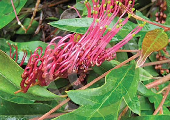 Aussie Crawl (Grevillea laurifolia) - Ground Covers Range by Plant Native!