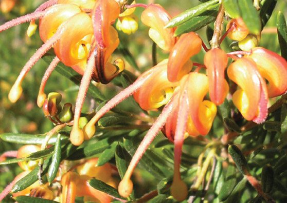 Aussie Sunset - Grevillea (G.baueri xG.Alpina) x G.Rosmar.Lutea - Shrubs by Plant Native!