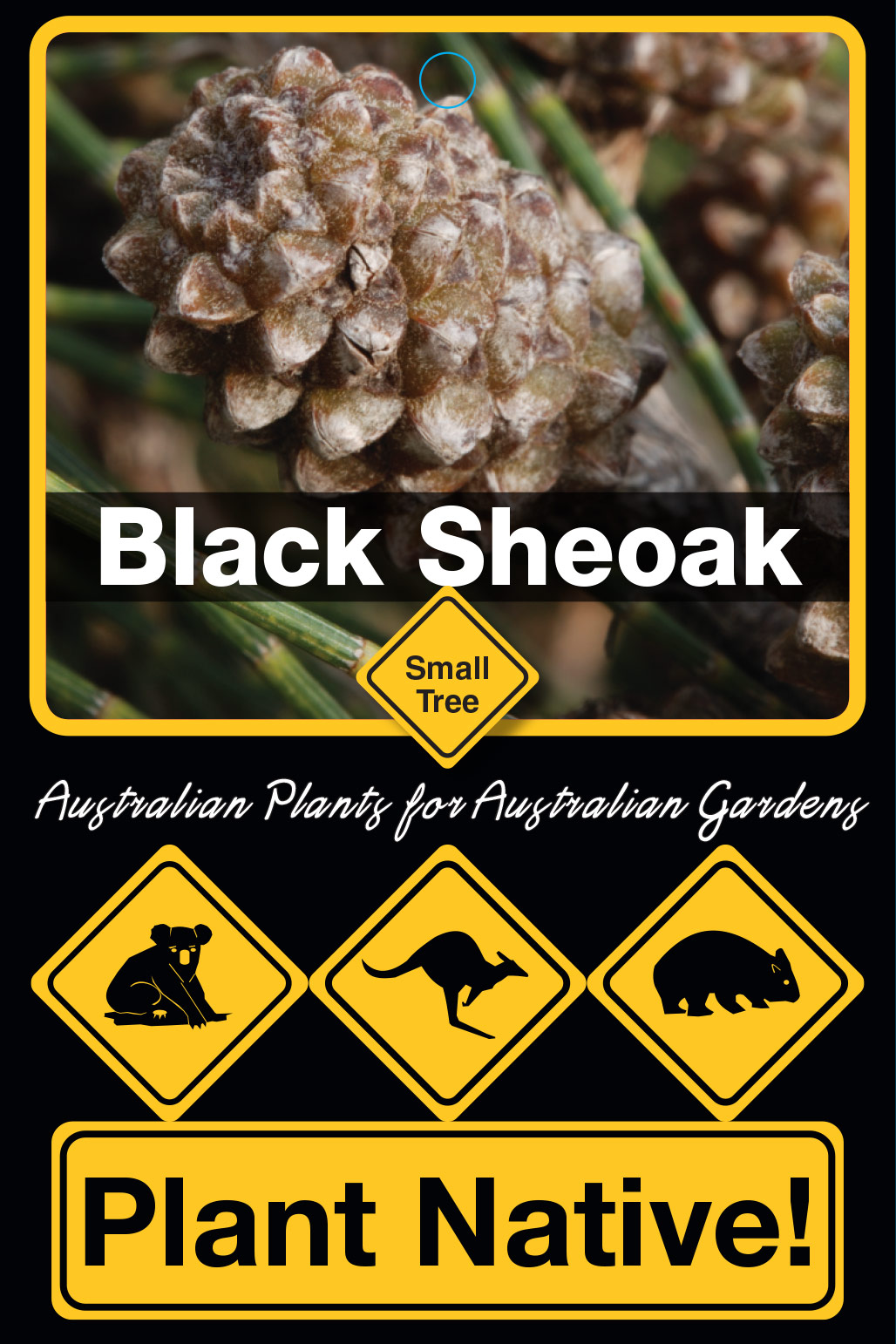 Black Sheoak - Plant Native!