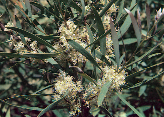 Bronze Age - Hakea salicifolia - Shrubs by Plant Native!
