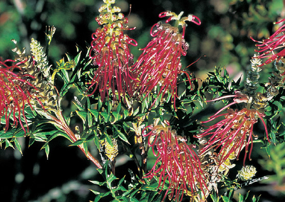 Bronze Rover (Grevillea acanthifolia x) - Ground Covers Range by Plant Native!