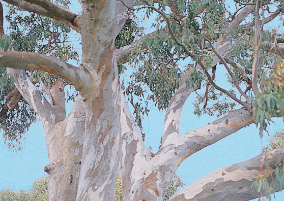 Cabbage Gum - Eucalyptus amplifolia - Tree range by Plant Native!