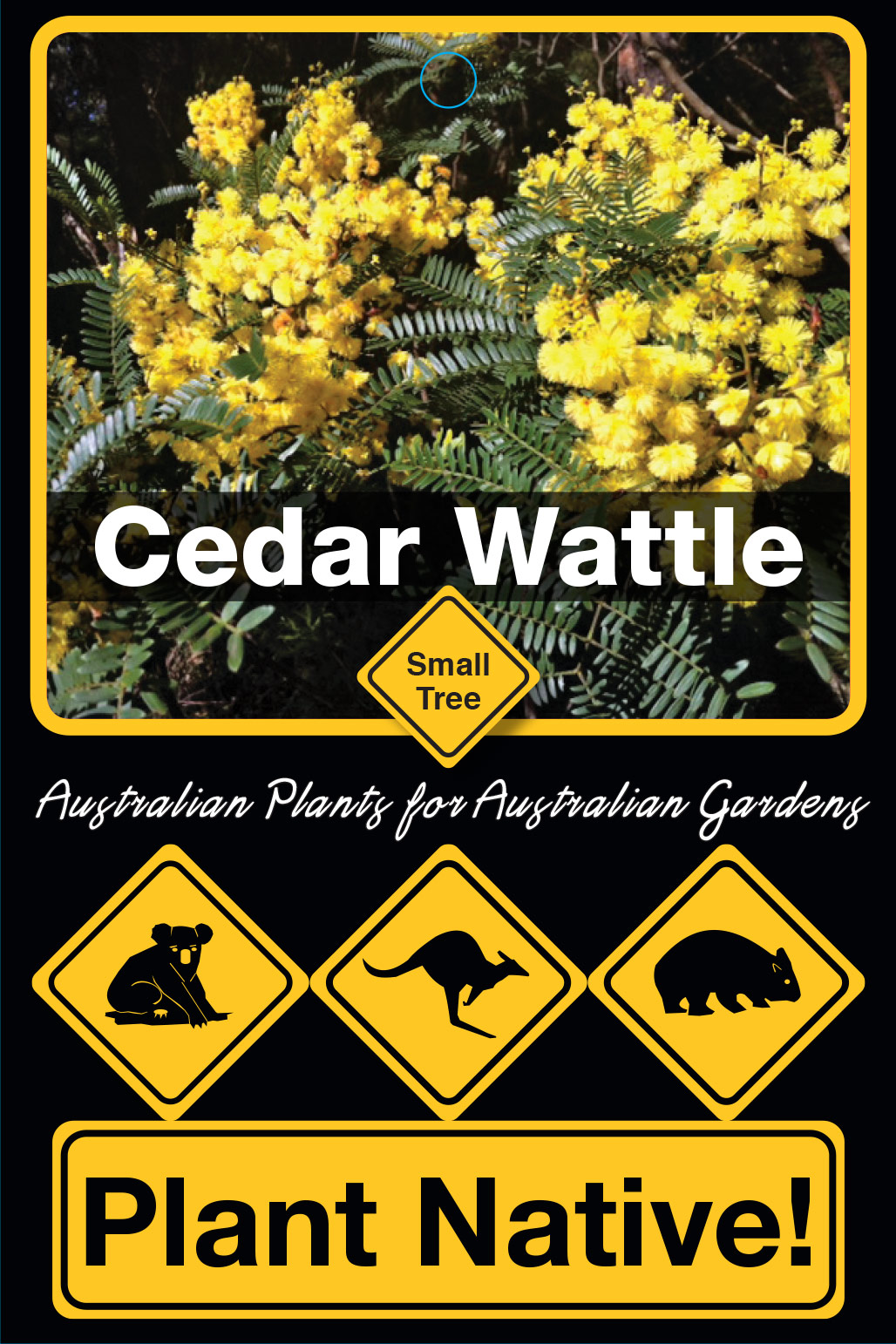 Cedar Wattle - Plant Native!