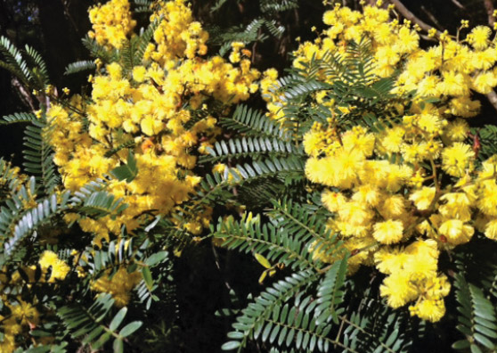 Cedar Wattle small tree range by Plant Native!
