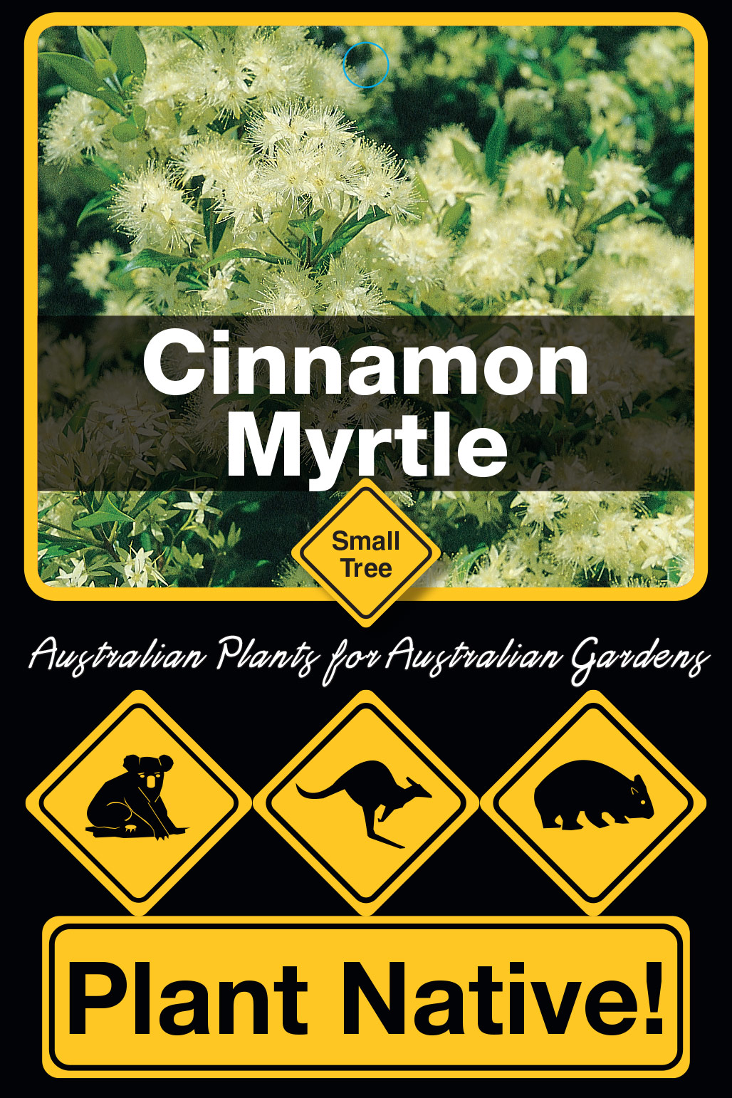 Cinnamon Myrtle - Plant Native!