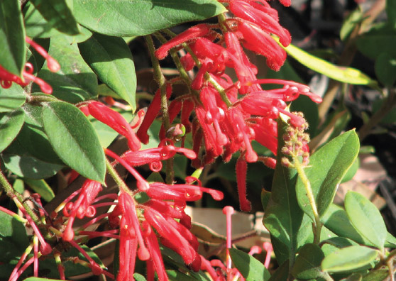 Deua Flame - Grevillea rhyolitica - Shrubs by Plant Native!