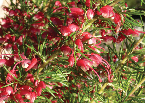 Forest Rambler (Grevillea shiressii select form) - Shrubs Range by Plant Native!