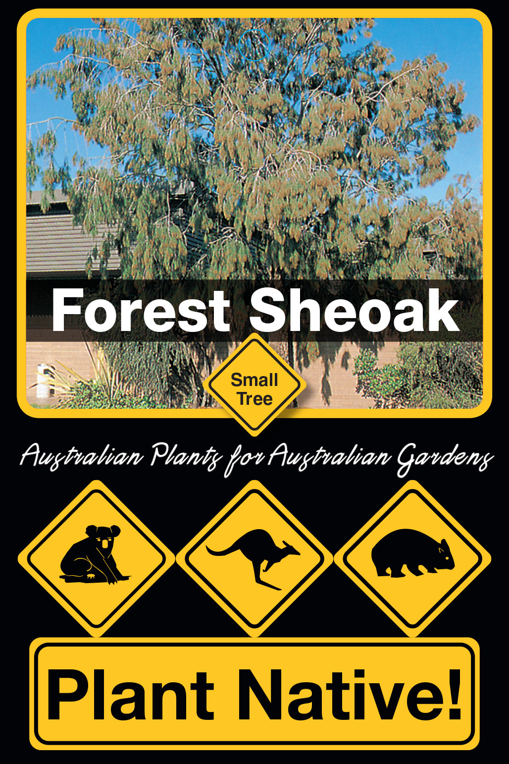 Forest Sheoak - Plant Native!