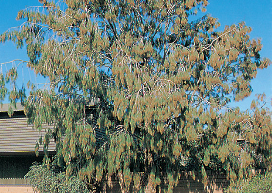 Forest Sheoak - Allocasuarina torulosa - Small Tree range by Plant Native!