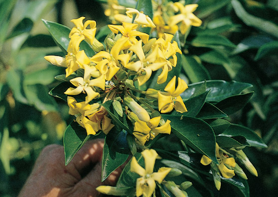 Frangipani - Hymenosporum flavum - Small Tree range by Plant Native!