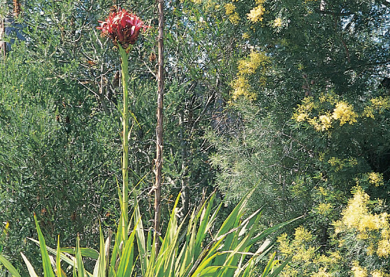 Gymea lily - Doryanthes excelsa - Tuftie Range by Plant Native!