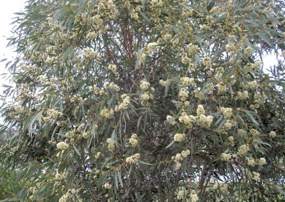 Honey Pots - Eucalyptus wimmerensis - Small Tree range by Plant Native!
