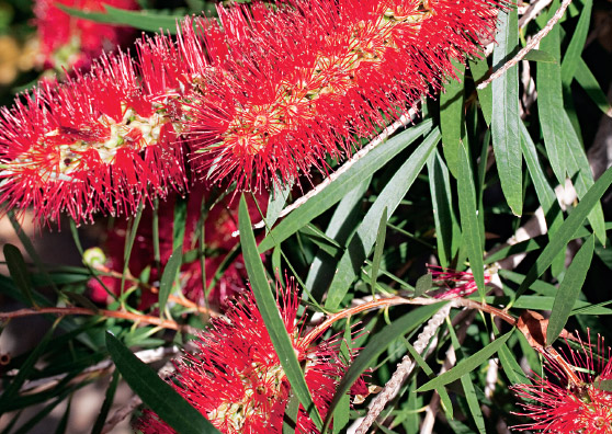 Kings Park Special - Callistemon viminalis select form - Shrub by Plant Native!