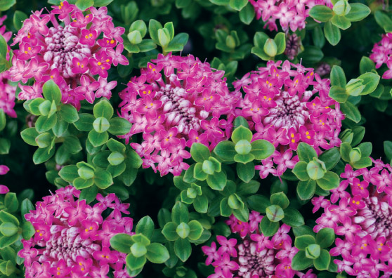 Magenta Mist (Pimelea ferruginea select form) - Shrubs Range by Plant Native!
