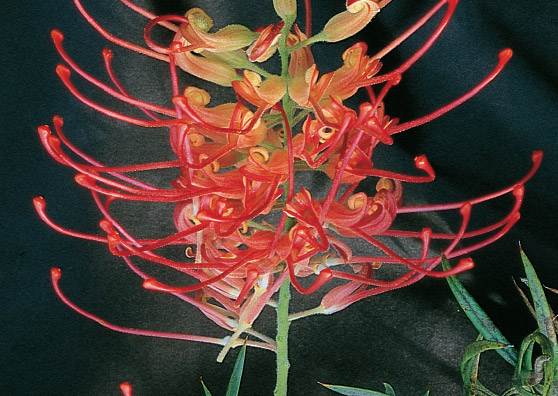 Ned Kelly - Grevillea bipinnatifida x G.banksii - Shrubs by Plant Native!