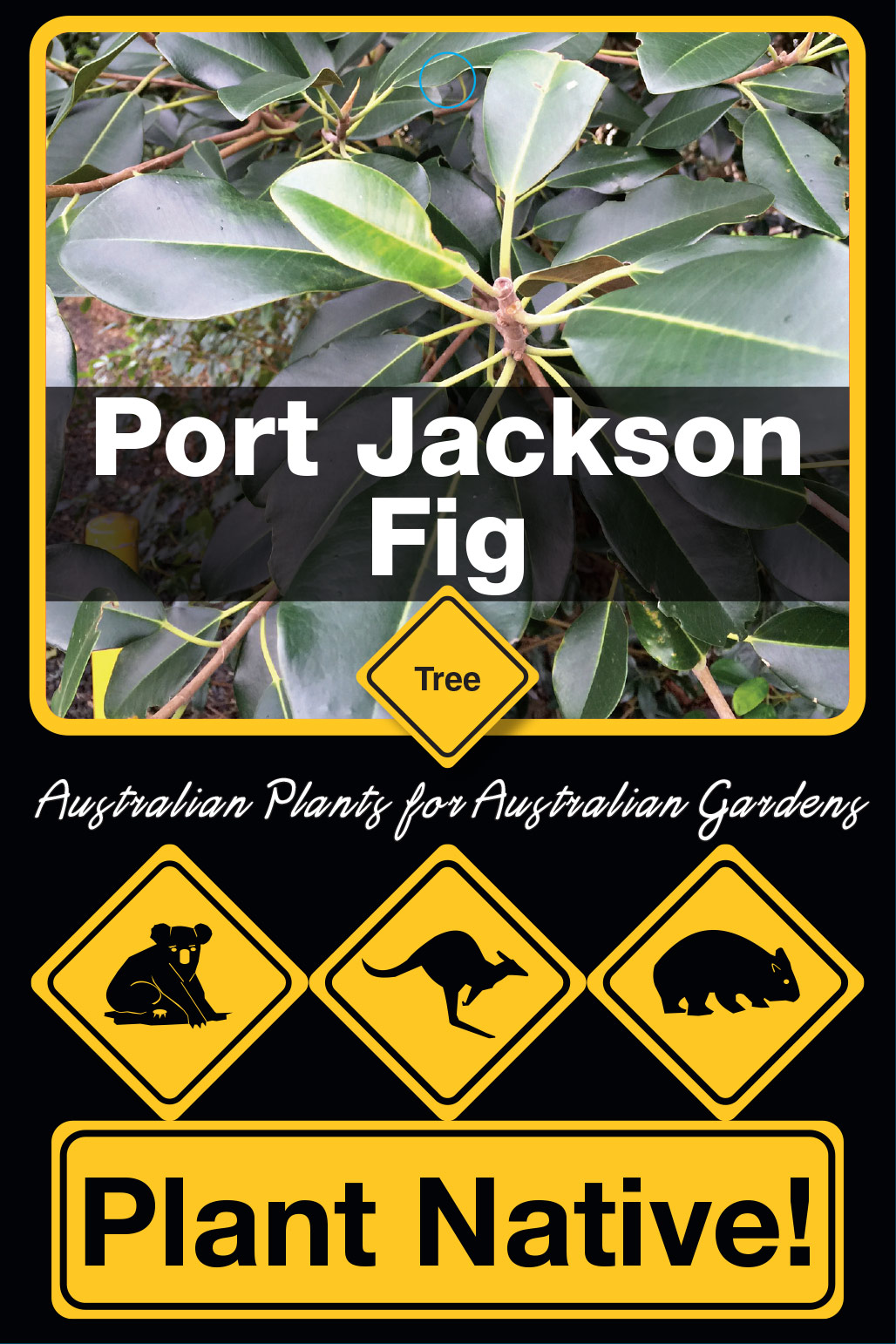 Port Jackson Fig - Plant Native!