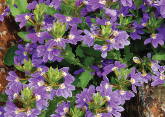 Purple Fanfare (Scaevola aemula select form) - Ground Covers Range by Plant Native!