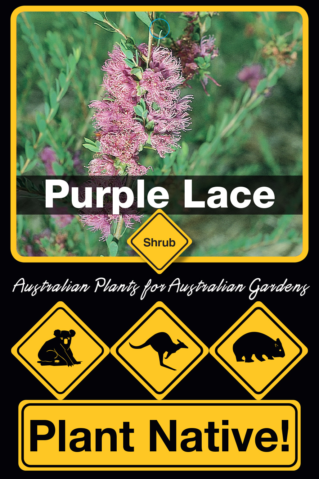 Purple Lace - Plant Native!