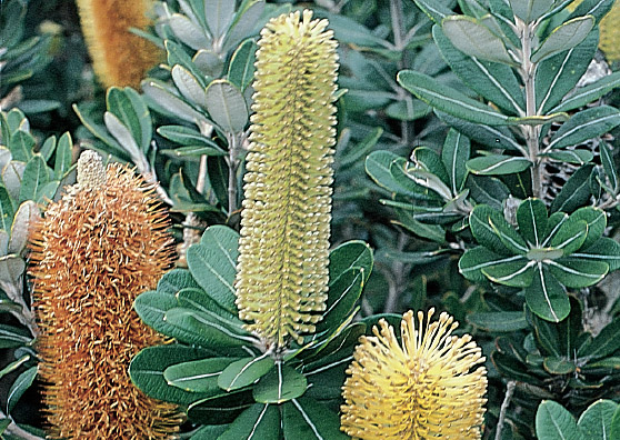 Roller Coaster (Banksia integrifolia prostrate) - Ground Covers Range by Plant Native!