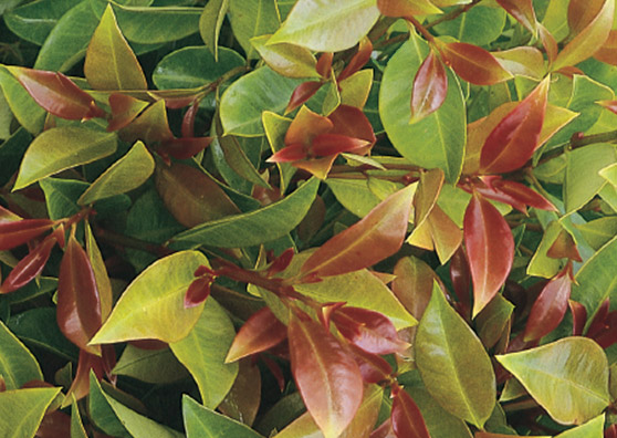 Screen Shine - Syzygium australe Southern form - Shrub range by Plant Native!