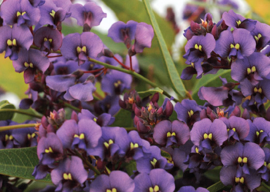 Sea of Purple (Hardenbergia violacea select form Rambosea) - Ground Covers Range by Plant Native!