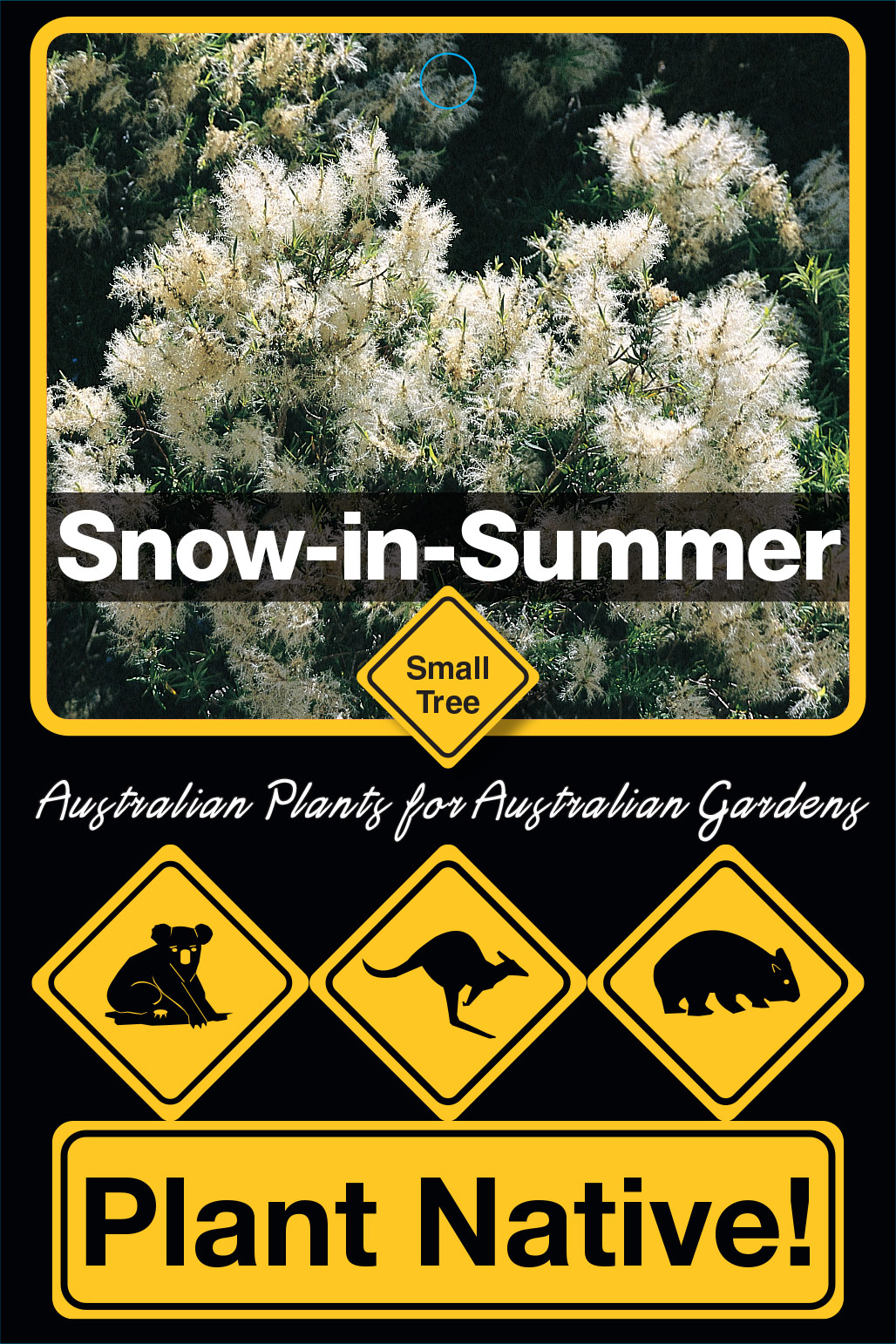 Snow-in-Summer - Plant Native!