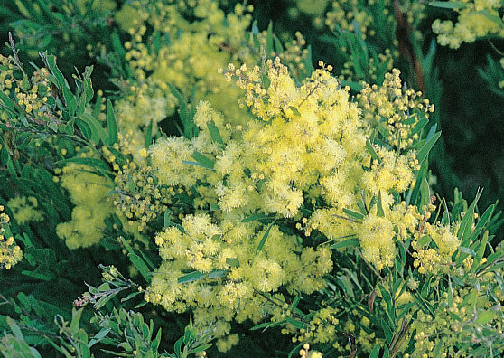 Spring Shower - Acacia fimbriata - Small Tree range by Plant Native!