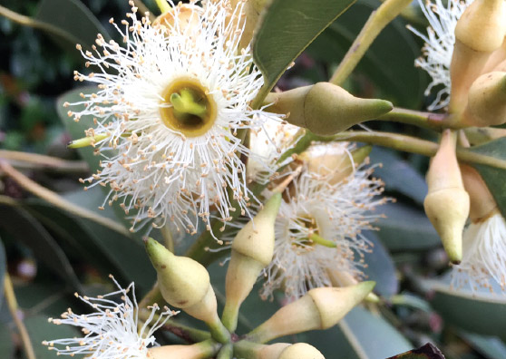 Swamp Mahogany - Eucalyptus robusta - Trees by Plant Native!