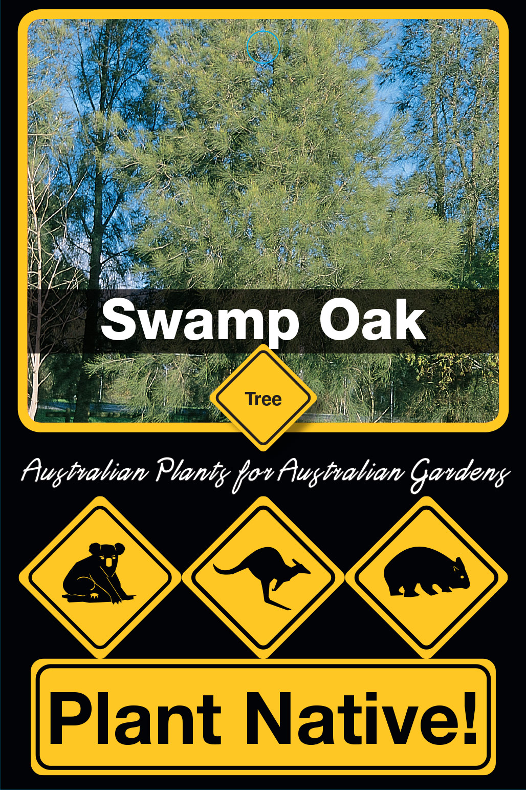 Swamp Oak - Plant Native!