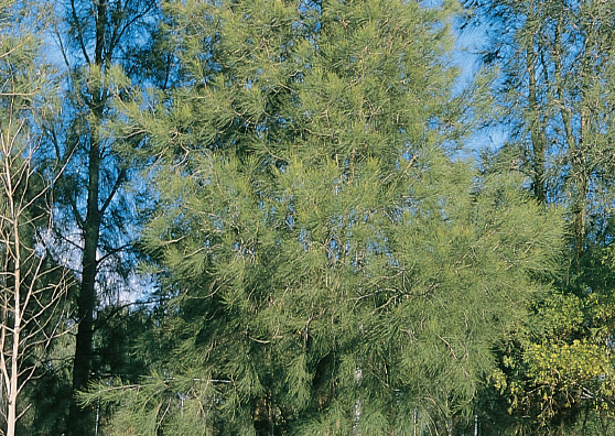 Swamp Oak - Casuarina glauca- Tree range by Plant Native!