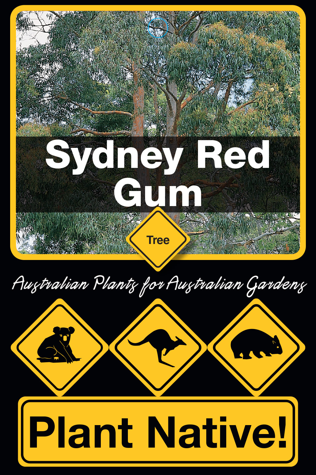 Sydney Red Gum - Plant Native!