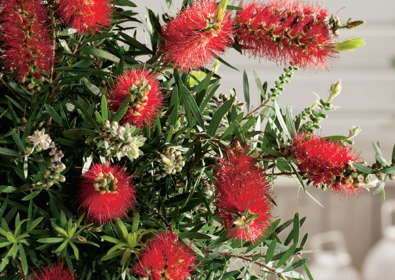Captain Cook (Callistemon viminalis select form) Australian Native Small Shrub by Plant Native!