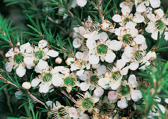 Cardwell (Leptospermum polygalifolia select form) Australian Native Medium Shrub by Plant Native!
