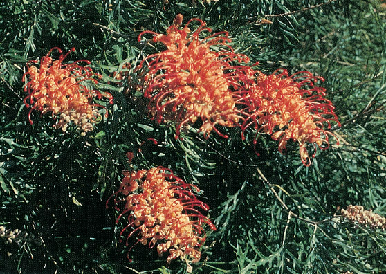 Coconut Ice (Grevillea bipinnatifida x G.banksii) Australian Native Medium Shrub by Plant Native!