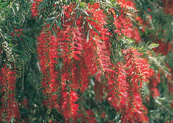 Hannah Ray (Callistemon viminalis select form) Australian Native Large Shrub by Plant Native!
