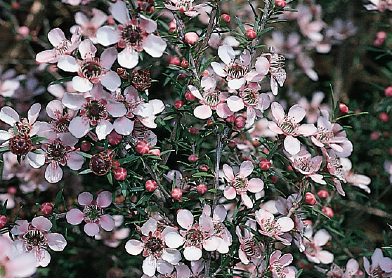 Pink Cascade (Leptospermum scoparium select form) Australian Native Small Shrub by Plant Native!