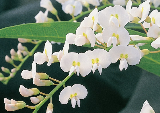 Snow White (Hardenbergia violacea select form) Australian Native Ground Cover/Climber by Plant Native!