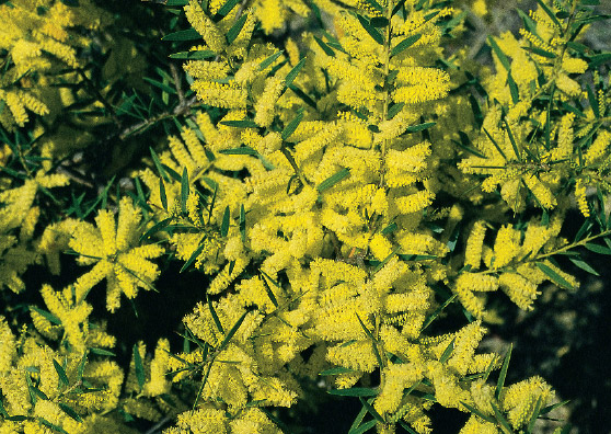 Sydney Golden Wattle (Acacia longifolia) Australian Native Medium Shrub by Plant Native!