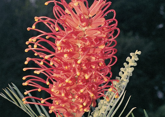 Sylvia (Grevillea Pink Surprise hybrid) Australian Native Large Shrub by Plant Native!